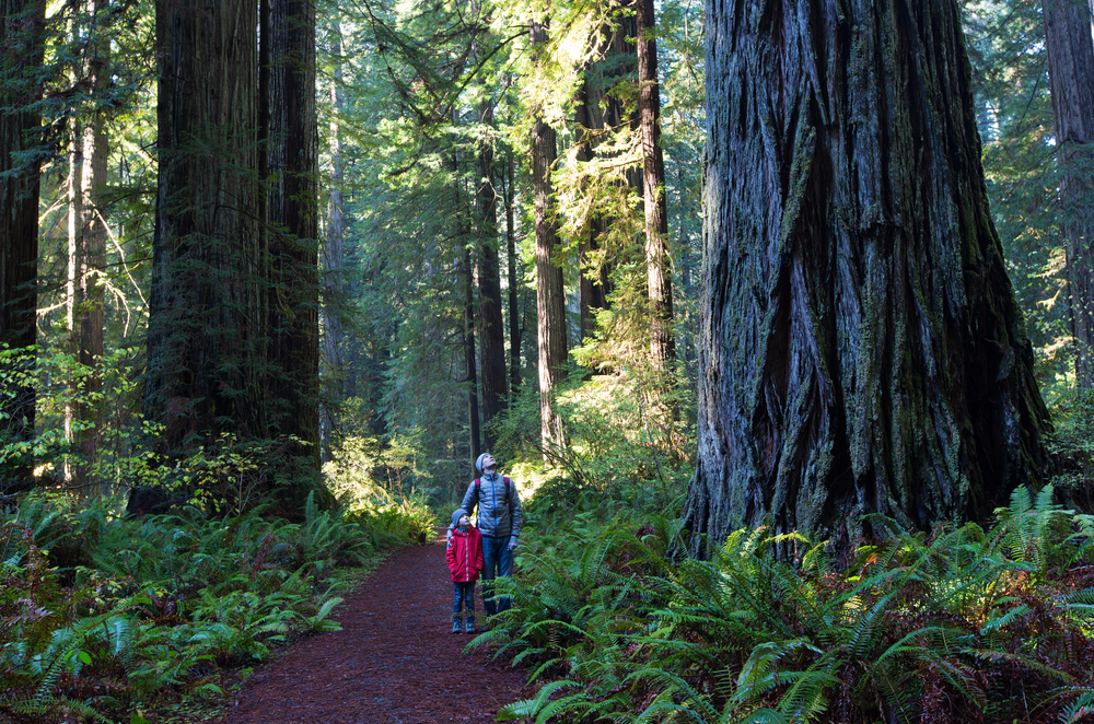 Adult and child hiking through Redwood forest glancing up at large tree.